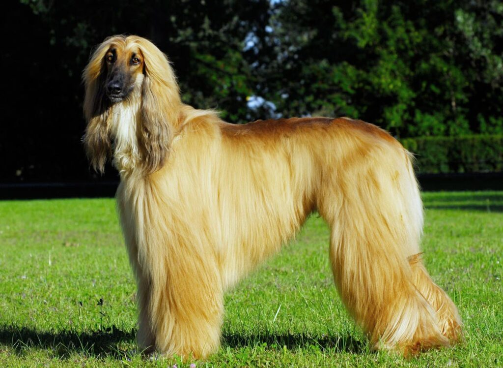 Most expensive dog in the world - Afghan Hound $1,500-$3,000