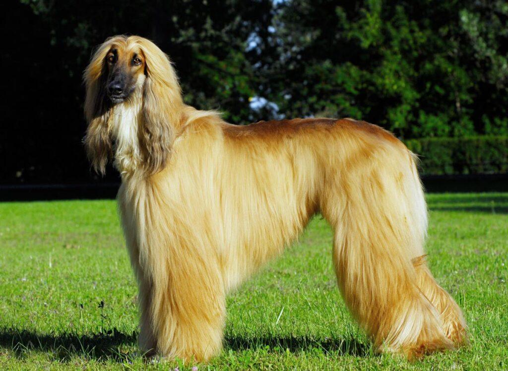أغلى أنواع الكلاب في العالم | كلب أفغان هوند الأفغاني