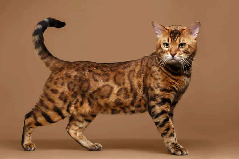Bengal Cat | Top 10 Most Expensive Cat Breeds in the World