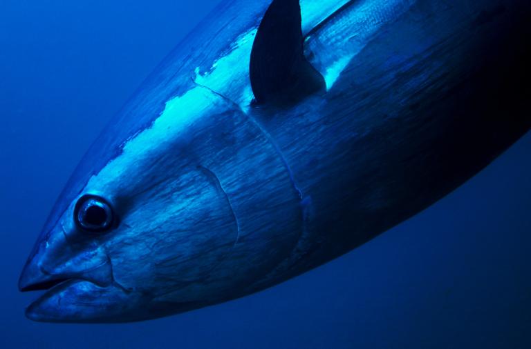 Atlantic Bluefin Tuna. A luxurious 3 Million-Dollar Fish Culinary Experience!