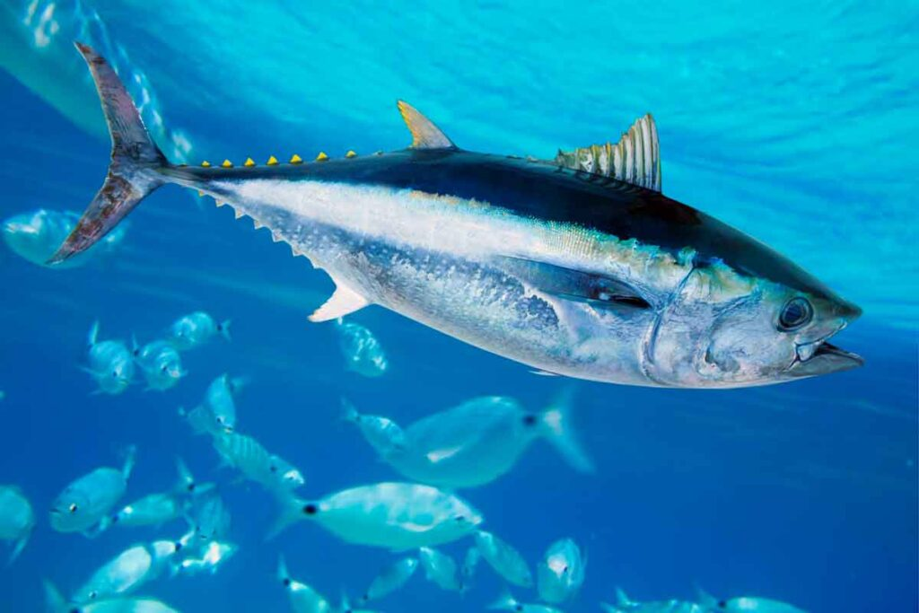 Bluefin Tuna Can Reach An Outstanding Size