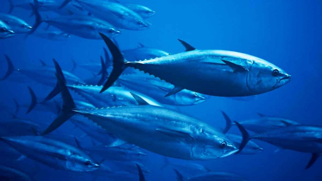 Atlantic bluefin tuna - Deep Water