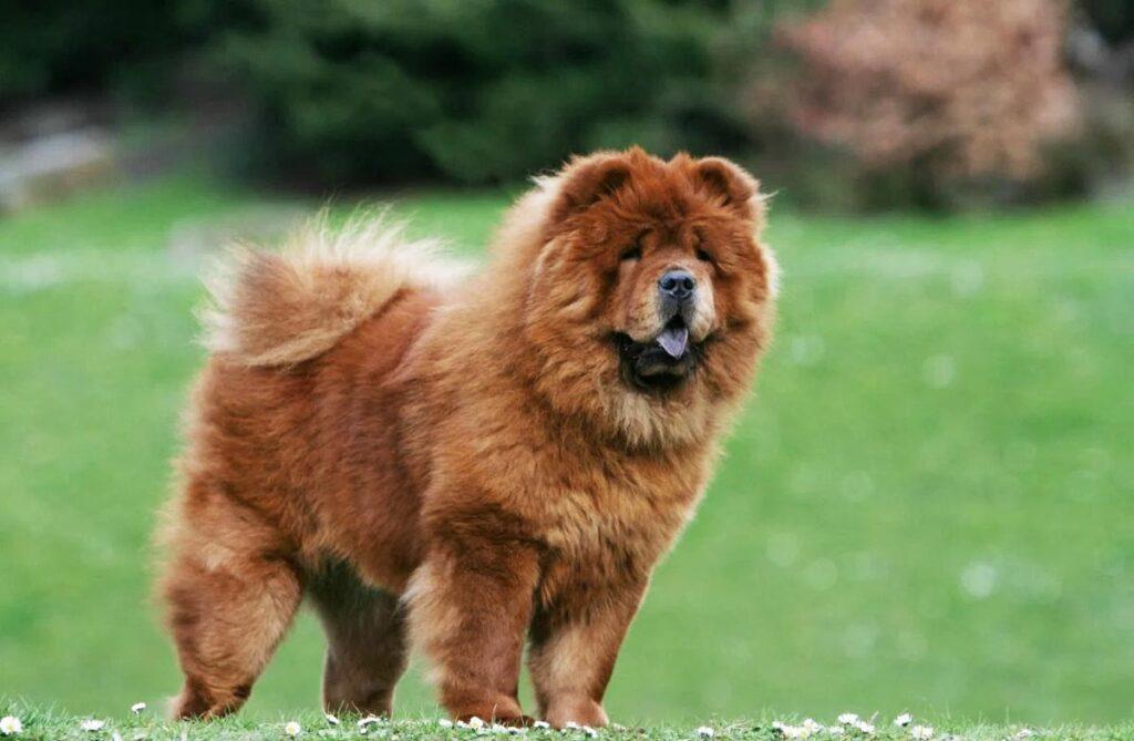 أغلى أنواع الكلاب في العالم | كلب تشاو تشاو