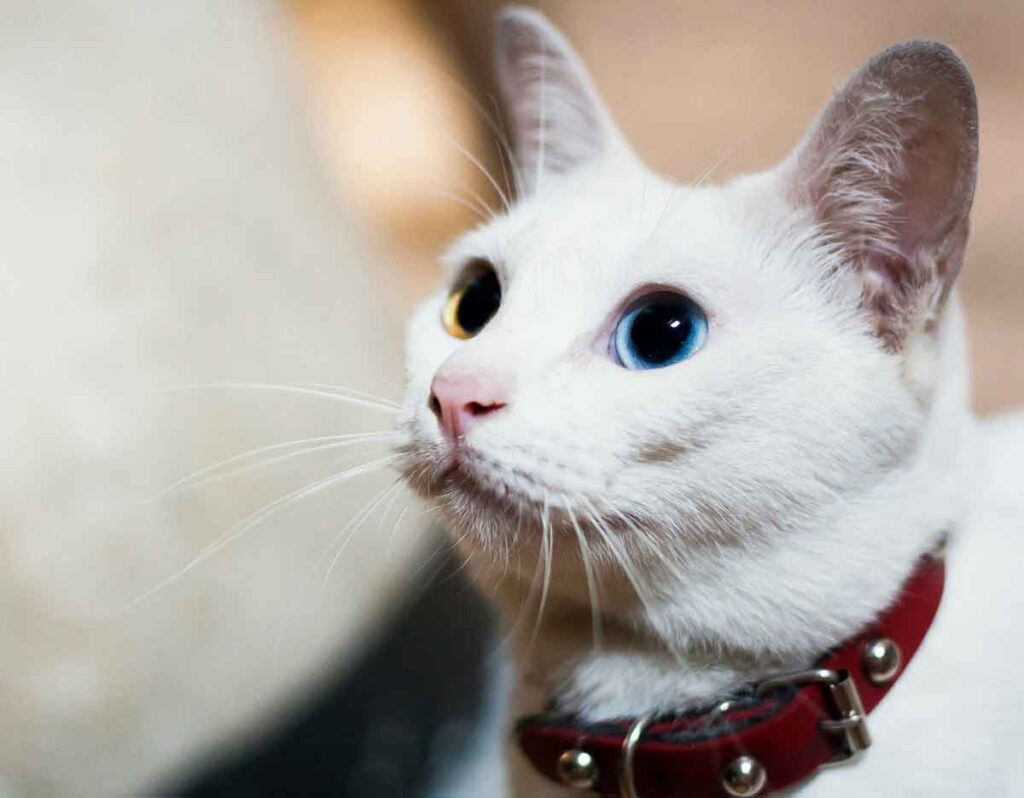 Khao Manee Cat | Top 10 Most Expensive Cat Breeds in the World