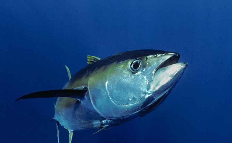 Bluefin vs Yellowfin Tuna