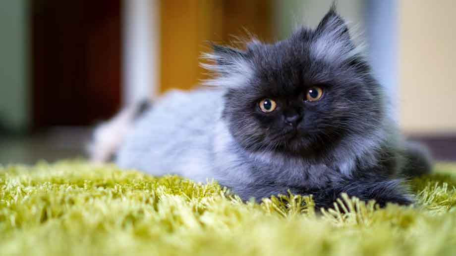 Persian Cat | Top 10 Most Expensive Cat Breeds in the World
