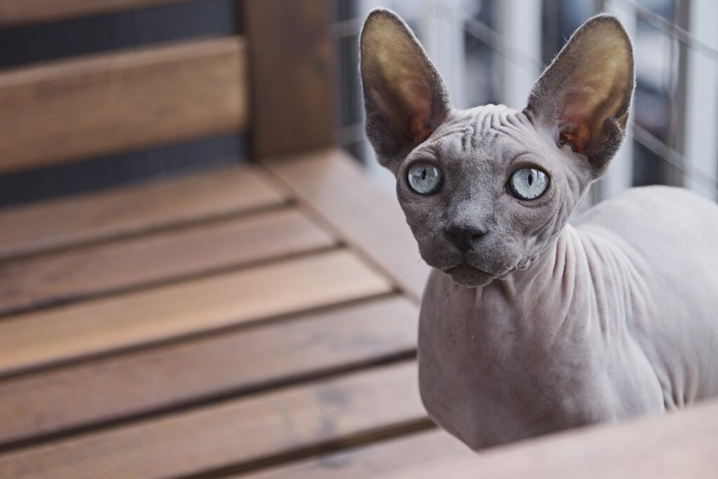 Peterbald Cat  | Top 10 Most Expensive Cat Breeds in the World