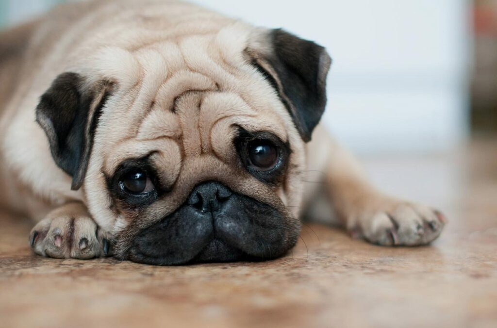 Most expensive dog in the world - Pug $1,500-$3,000