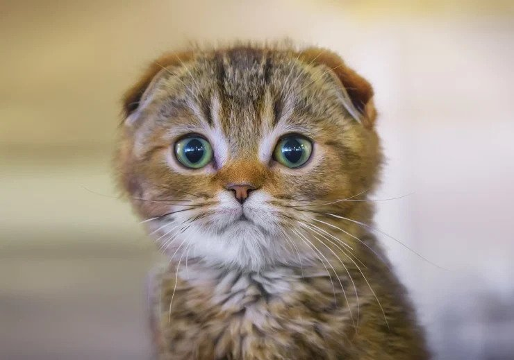 Scottish Fold | Top 10 Most Expensive Cat Breeds in the World