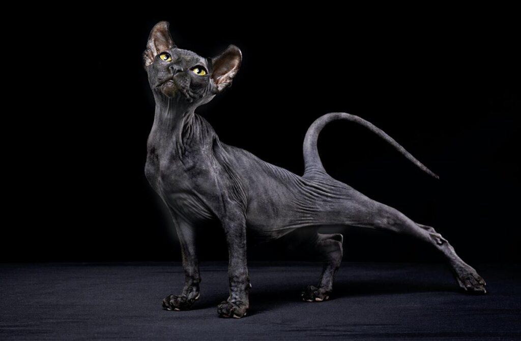 The Sphynx Cat  | Top 10 Most Expensive Cat Breeds in the World