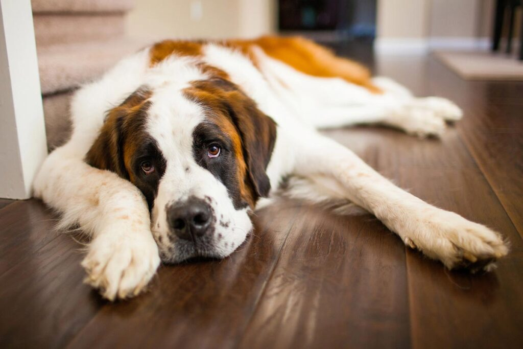 Most expensive dog in the world - St. Bernard $1,000-$3,000