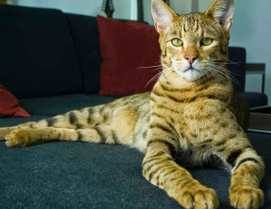 Ashera Cat | Top 10 Most Expensive Cat Breeds in the World