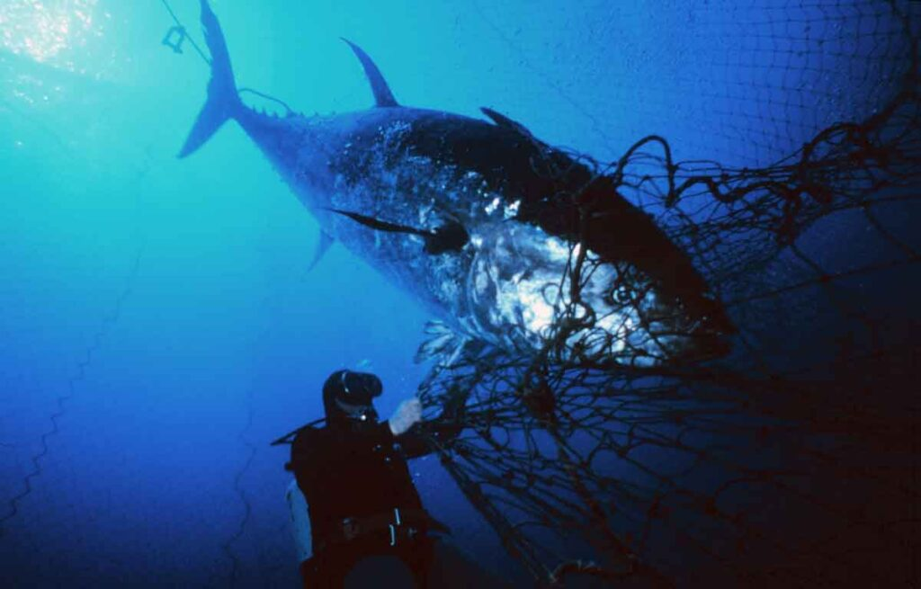 The Bluefin Tuna Endangered Species