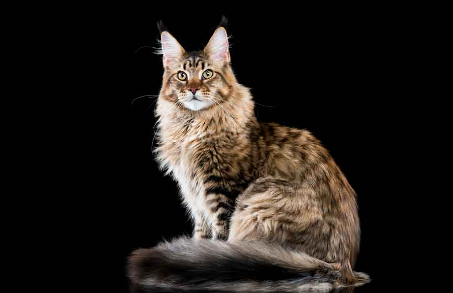 Maine Coon Cat | Top 10 Most Expensive Cat Breeds in the World