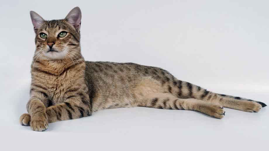 Savannah Cat | Top 10 Most Expensive Cat Breeds in the World