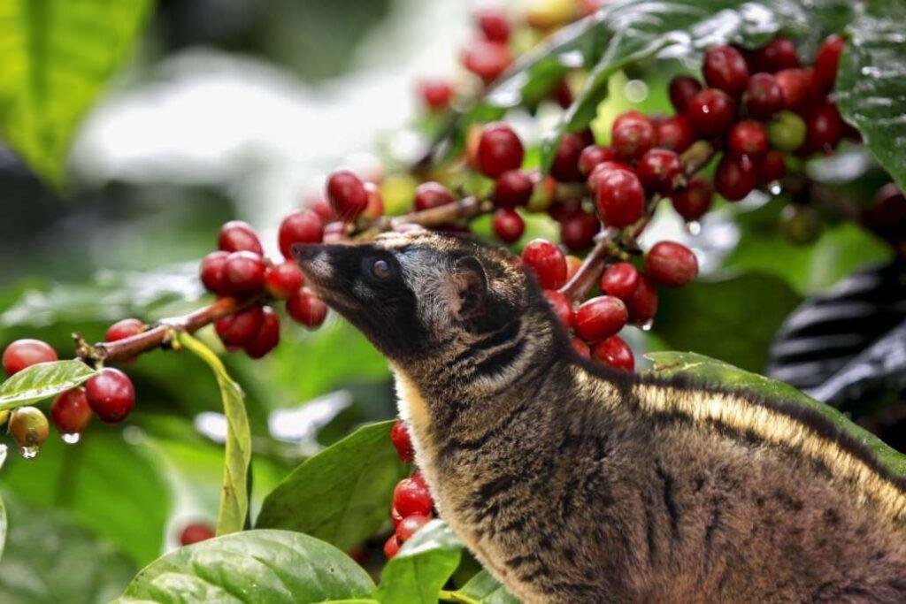 أجود أنواع القهوة في العالم - قهوة حيوان كوبي لواك أو زبّاد النخيل